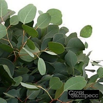 Саженцы Эвкалипта (серебристый)  и листья