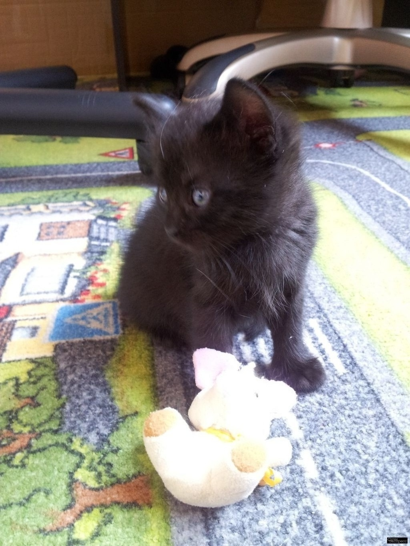 Котенок, Бесплатно, привезем бесплатно по Адлеру. Родилась 18.04.20. добрая, игривая, умная, научена