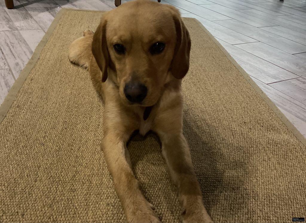 СОЧИ ! Найден щенок! Предположительно Лабродора, очень добрый, мы его накормили приютили! Хозяева от