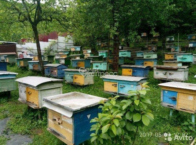 Пчеломатки. Серая горная кавказская. Красная полян